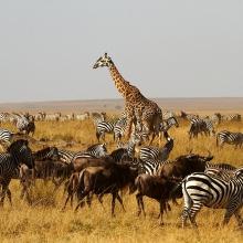 Migration,-Kenya