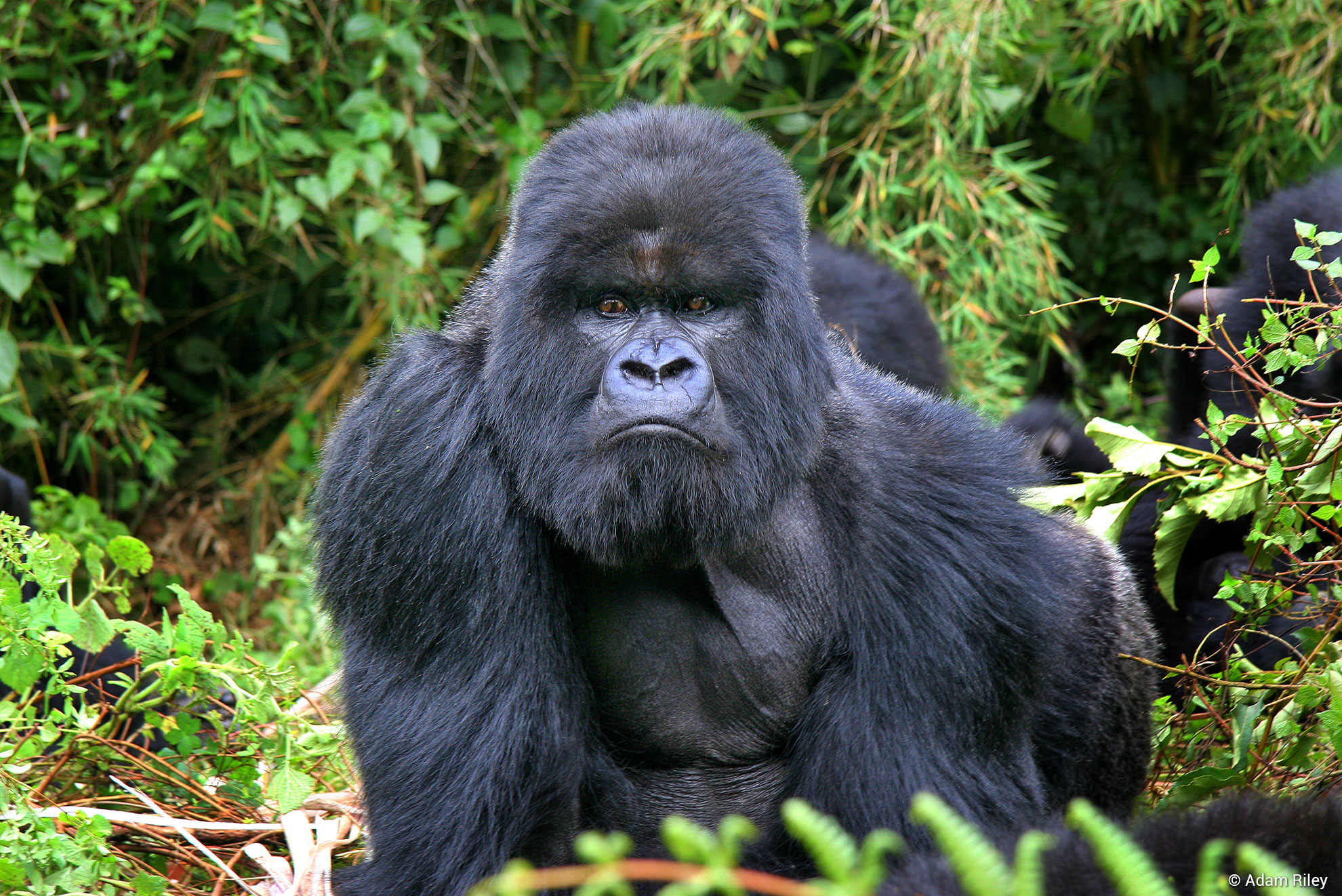 Rwanda & Kenya Mountain Gorillas & Great Migration
