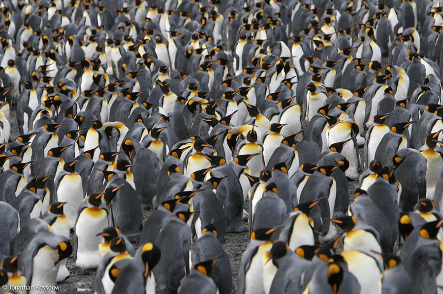 King-Penguin-28-JR