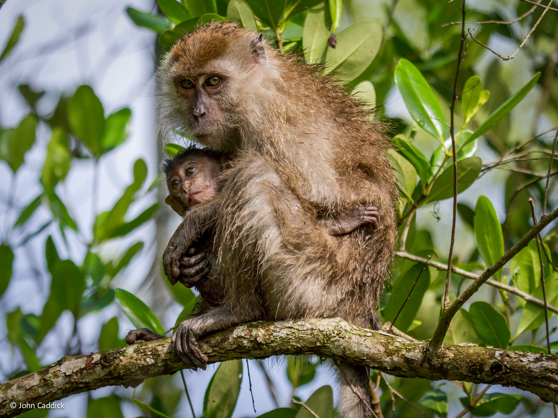 Long_tailed_Macaque2 - JC