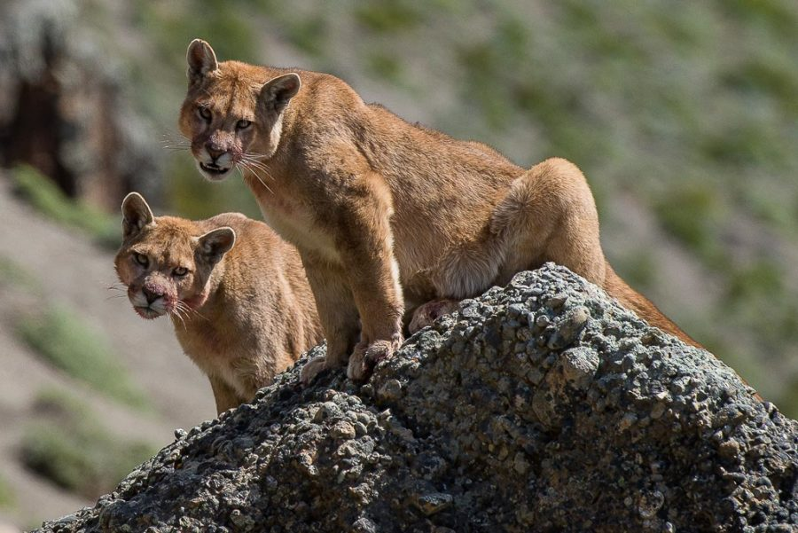 Chile - Pumas and Patagonian Wildlife 2020