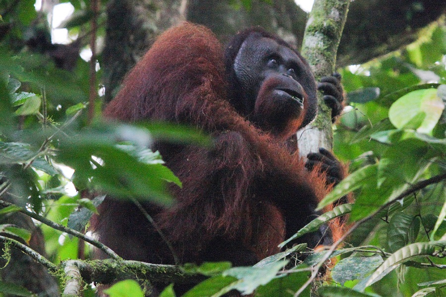 Borneo - Orangutans & Rainforest Wildlife of Tropical Asia 2020