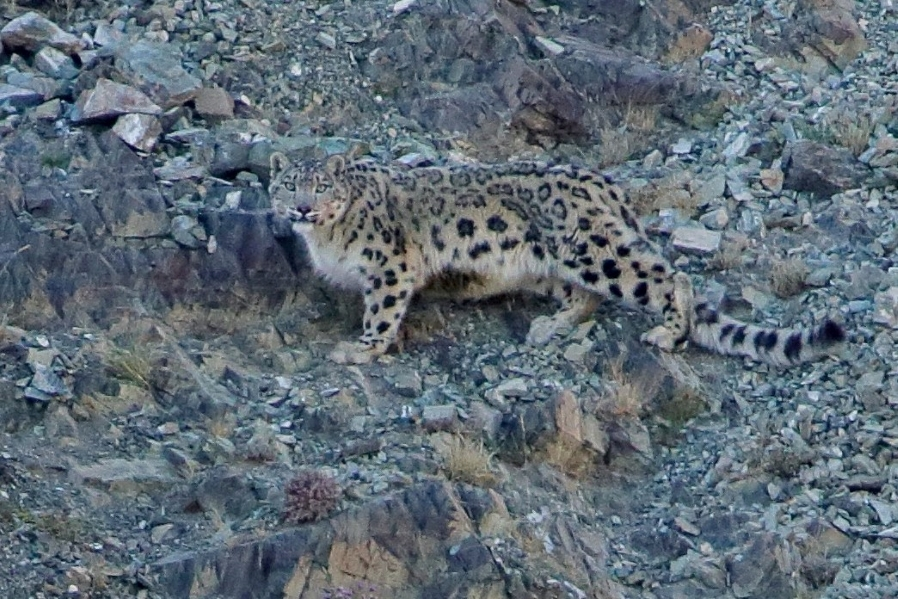 Mongolia - Snow Leopards & Birds 2021